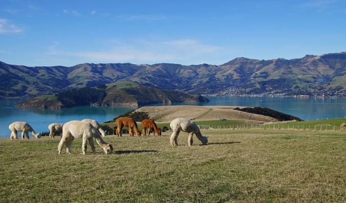 Pregnant females with Akaroa across the harbour